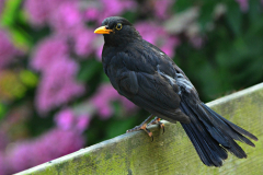Blackbird-Mull