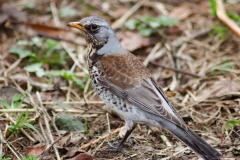 Fieldfare-Songbird-Mull