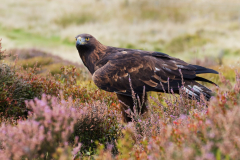 Golden-Eagle-Amoungst-Heather-Mull-scaled
