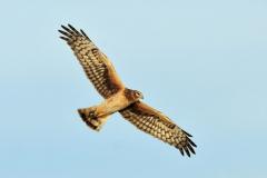 Harrier-in-flight