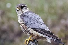 Merlin-Hawk-Mull