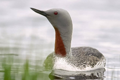 Red-Throated-Diver-Mull