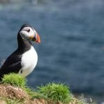 Puffin on Rocks Mull Isle of Mull