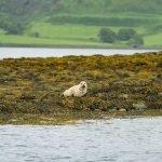 Seal pup on Rocks Mull Isle of Mull Argyll