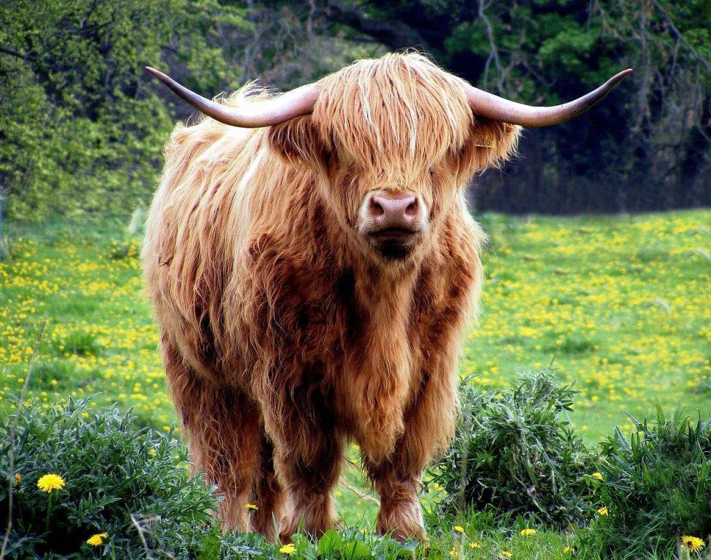 Highland Cow-Isle-of-Mull-Mull-Isle of Mull-Wildlifeonmull