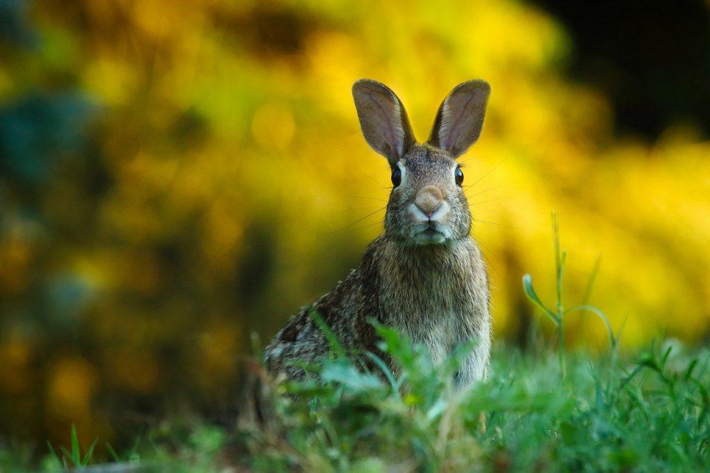 Rabbit-on-Mull-Isle-of-mull-argyll
