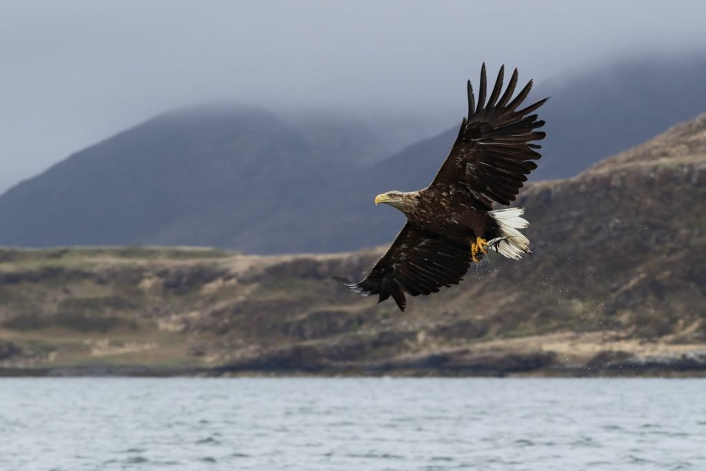 White-tailed eagle soaring over Mull