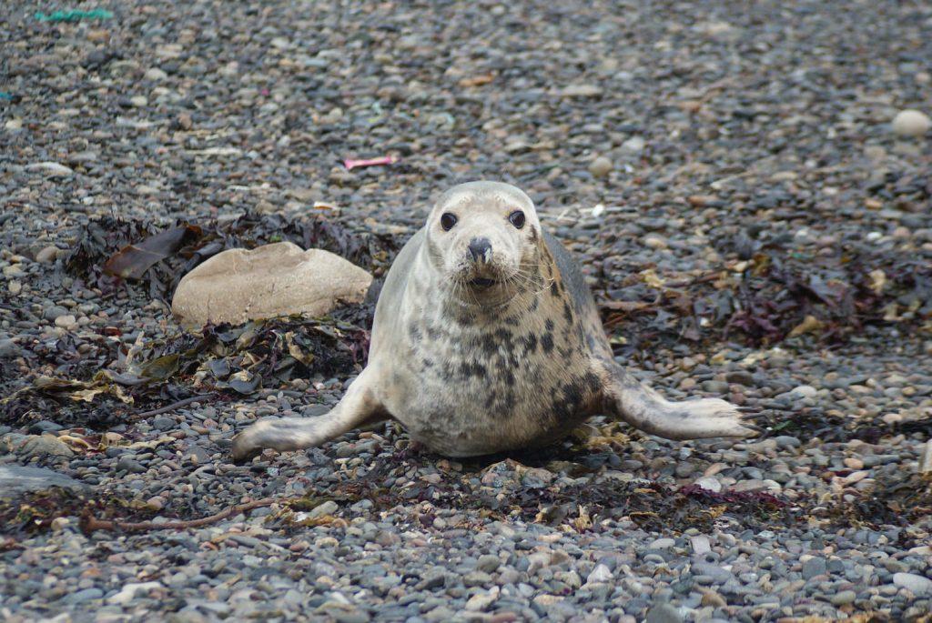 Grey Seal on pebble beach Mull Isle of Mull Argyll