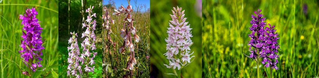 Wild-Orchid-Mull-Isle-of-Mull