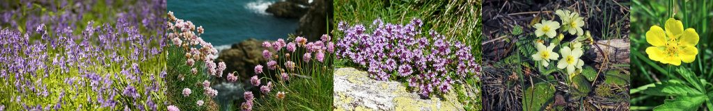 Primrose-Thrift-Thyme-Bluebells-Mull-Isle-of-Mull