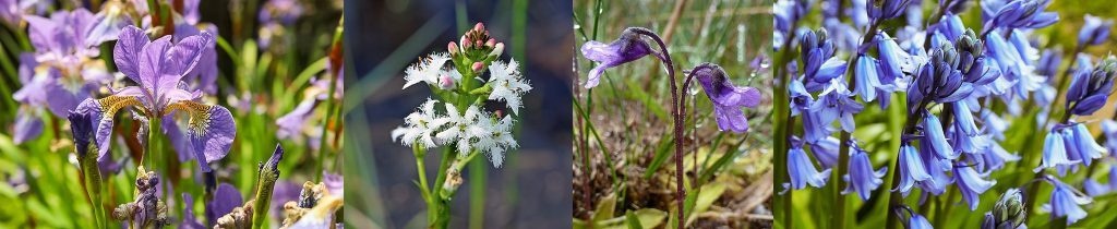 Common-Butterwort-Flag-Iris-Bog-Bean-Hairbells-Mull-Isle-of-Mull