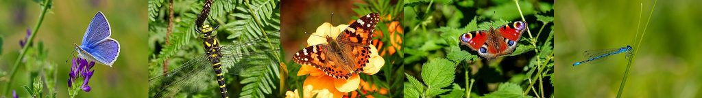 Blue-Butterfly-Peacock-Butterfly-Painted-Lady-Butterfly.-Dragonfly- Damselfly