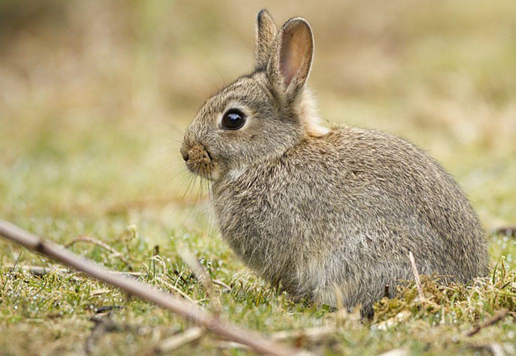 Rabbit-Mull-Isle-of-Mull