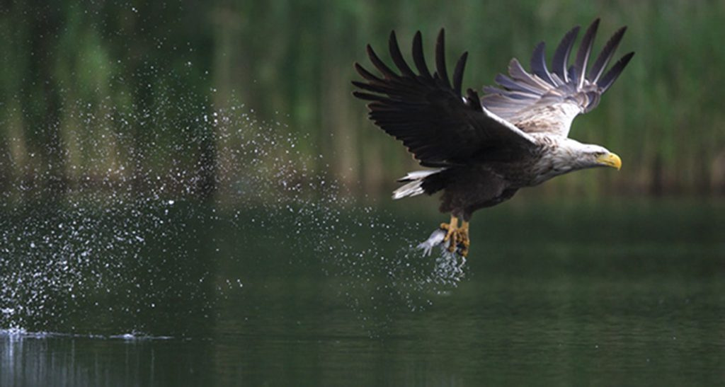 White-Tail-Sea-Eagle-Mull-catches-Fish-Mull-Isle-of-Mull